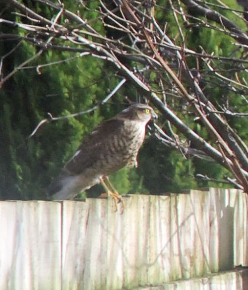 Female-Sparrow -Hawk.